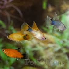 Freshwater Fish Assorted Hifin Moon Xiphophorus Sp For Sale Online Petsolutions