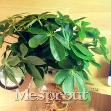 Blue Flower Vine - online get cheap flowering vines seeds aliexpress com alibaba group