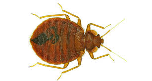 Bed Bug Bed Bugs Have Favorite Colors Science News For Students