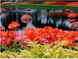 beautiful and colorful flowers at epcot flower garden in
