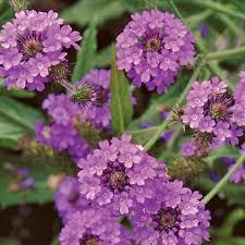 verbena flower plants that draw pollinators to your garden seed savers exchange