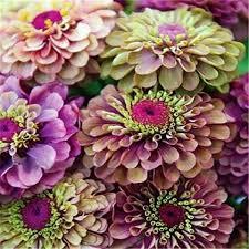Zinnia Flower Flowers U2013 Tagged