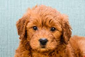 goldendoodle puppy virginia miniature goldendoodle puppies for sale hybrid small breed