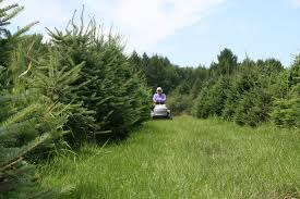 christmas tree farming throughout the year collopyfamilyfarm