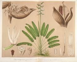 native plants in brazil phenakospermum guianensis circa 1860 native to the eastern