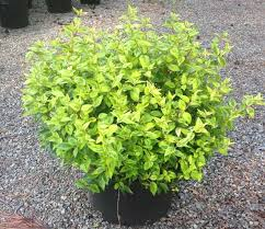 abelia kaleidoscope turtle creek nursery specialty plants and
