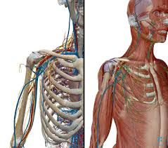 Anatomy Of The Shoulder Girdle Addressing Shoulder Pain Part 1 U2014 Yogawalla