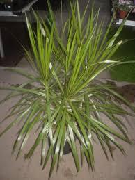 madagascar native plants plants are the strangest people fall guy dracaena marginata