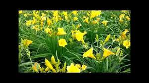 stella daylily best perennials hemerocallis stella de oro daylily