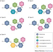 the molecular structures of a antigen core chain isoforms