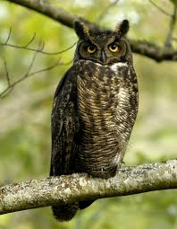 great horned owl facts for kids yourkidsplanet com