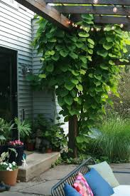 94 best climbing plants for the garden images on pinterest
