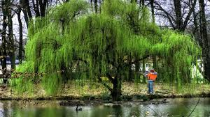 wildlife trees grow fast weeping willow tree salix babylonica