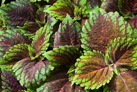 solenostemon picture salmon coleus plant flower stock