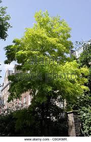 robinia trees stock photos robinia trees stock images alamy