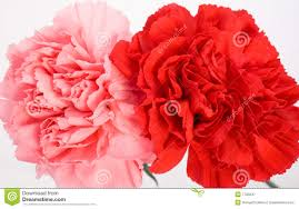 Red Carnations Pink And Red Carnations Royalty Free Stock Photography Image