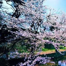 cherry blossom trees ipad wallpaper download iphone wallpapers