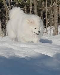 american eskimo dog calgary lamborghini february 2010