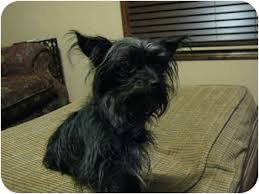 affenpinscher and chihuahua zoe adopted dog bedminster nj affenpinscher yorkie