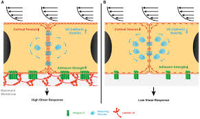 endothelial basement membrane laminin 511 is essential for shear