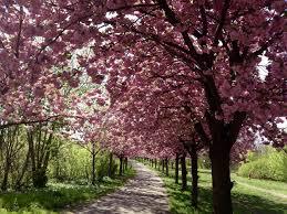 incredible cherry blossom trees are illuminating berlin u0027s streets