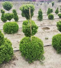 Euonymus Topiary Tankard Nurseries Plantant Com