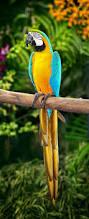 blue and yellow macaw wikipedia