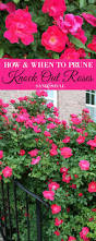 how and when to prune knock out roses gardens plants and