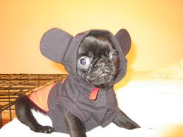 halloween mickey mouse background smith in his mickey mouse costume u2013 so cute pugsireland blog
