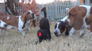 basset hounds vs the scary halloween cat very funny youtube