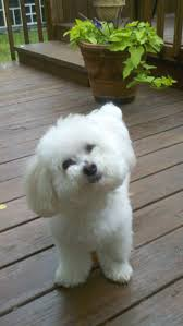 bichon frise x jack russell 180 best bichon frise images on pinterest puppies animals and