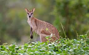 kangaroo high images reverse search