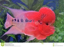 flowerhorn cichlid fish stock photo image 35158070