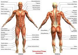 Google Body Anatomy Related Image Anatomy Reference Pinterest Anatomy 3d