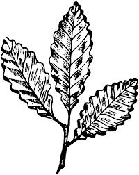 White Oak Leaf Chestnut Oak Leaf Clipart Etc