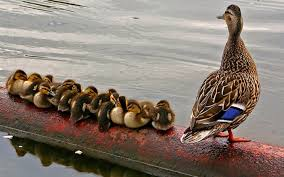bird water funny feather duck ducklings cute row family beautiful