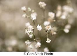small white flowers small white flowers macro stock photos search photographs and