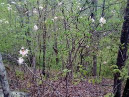 native plants of alabama dig dirt cult ground alabama gardener