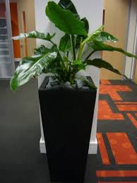 tall black planter with philodendron
