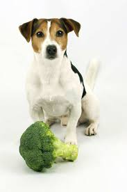 can dogs eat broccoli the labrador site