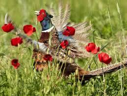 31 best pheasant bird pheasants peacock gray amherst s