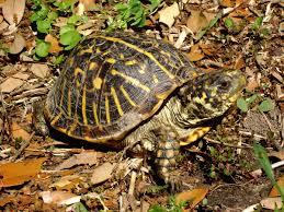ornate box turtle wikipedia