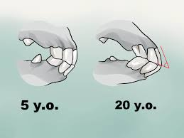 how to tell a horse u0027s age by its teeth with pictures wikihow