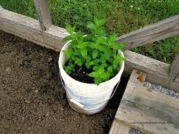 gardening five tips on how to grow mint in your garden walking