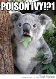 Koala Bear Meme - best of surprised koala bear meme 25 pics