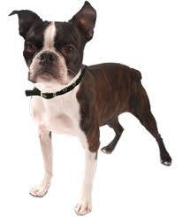 afghan hounds for adoption boston terrier puppies boston terrier rescue and adoption