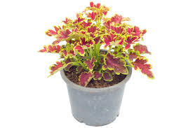 Flowers In Waco - how to grow dianthus plants in pots
