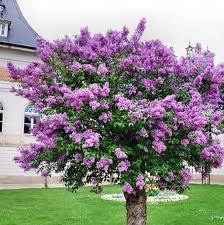 albero giardino il trasporto libero 100 pz lilla fiore albero semi perenne semi