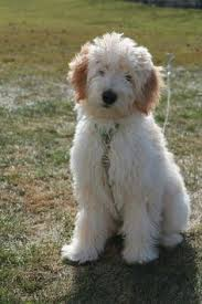 doodle for adoption indiana goldendoodles in indiana random things i