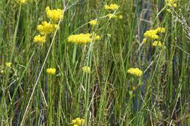 native wetland plants native florida wildflowers tall milkwort polygala cymosa
